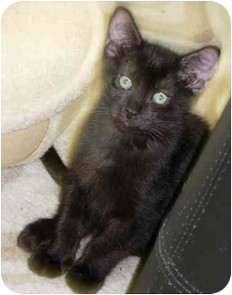 Domestic Shorthair Kitten for adoption in Tomball, Texas - Donnie