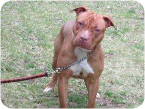 Pharaoh Hound/American Pit Bull Terrier Mix Puppy for adoption in Bloomfield, Connecticut - Kaylee