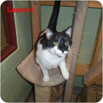 Domestic Shorthair Cat for adoption in Slidell, Louisiana - Laurant