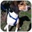 Photo 1 - Beagle Mix Dog for adoption in Worcester, Massachusetts - Dexter