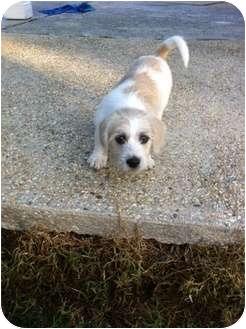 Schnauzer (Miniature)/Cocker Spaniel Mix Puppy for adoption in Baton Rouge, Louisiana - Gemma
