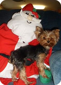 Yorkie, Yorkshire Terrier Dog for adoption in Cleveland, Ohio - Kellie