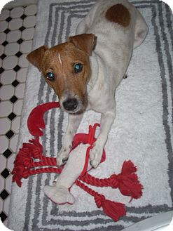 Jack Russell Terrier Dog for adoption in Rhinebeck, New York - Akiba