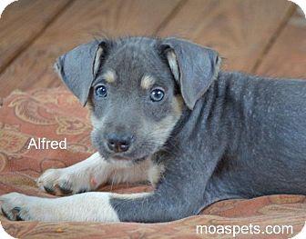 Corgi/Dachshund Mix Puppy for adoption in Danielsville, Georgia - Alfred