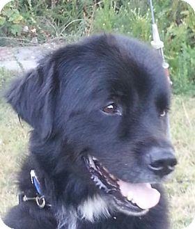 Newfoundland Mix Dog for adoption in Harrisonburg, Virginia - Sampson