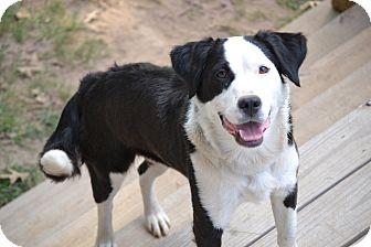 Border Collie/Bulldog Mix Dog for adoption in Alabaster, Alabama - Annie