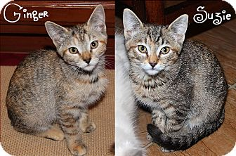 Domestic Shorthair Cat for adoption in San Andreas, California - Ginger & Suzie