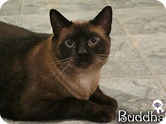 Burmese Cat for adoption in River Edge, New Jersey - Budha