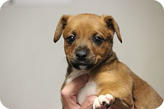 Boxer Mix Puppy for adoption in Oakville, Connecticut - Tag