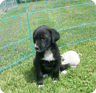 Labrador Retriever/Newfoundland Mix Puppy for adoption in Liberty Center, Ohio - Benatar