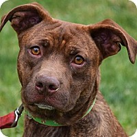 American Staffordshire Terrier/Labrador Retriever Mix Dog for adoption in Huntley, Illinois - Garth