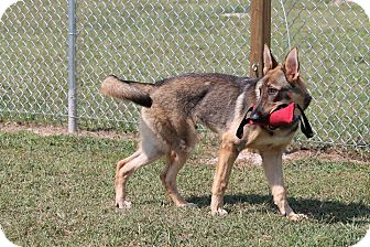 German Shepherd Dog Dog for adoption in Fort Worth, Texas - Kaiser