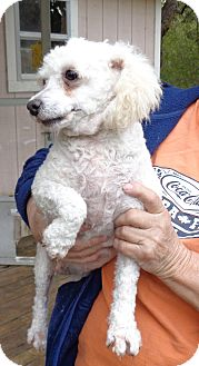Poodle (Miniature) Dog for adoption in Crump, Tennessee - Bloomer