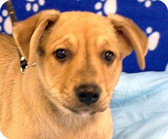 German Shepherd Dog/Australian Shepherd Mix Puppy for adoption in Allentown, New Jersey - Dalton