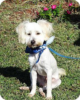 Maltese Mix Dog for adoption in Port St. Joe, Florida - Ajax