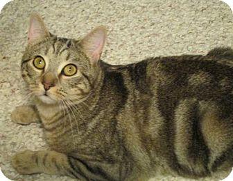 Domestic Shorthair Cat for adoption in Cary, North Carolina - Morgan--ADOPTED