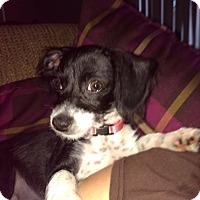 Adopt A Pet :: Macy - Pembroke pInes, FL