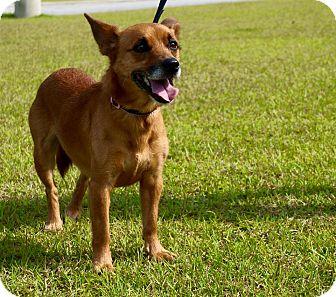 Pembroke Welsh Corgi/Miniature Pinscher Mix Dog for adoption in Jacksonville, North Carolina - Sadie