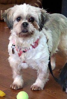 Shih Tzu Dog for adoption in Jacksonville, Florida - Rihanna
