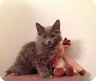 Domestic Longhair Kitten for adoption in Woodstock, Ontario - Sage