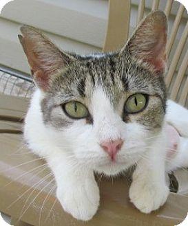 Domestic Shorthair Cat for adoption in Aiken, South Carolina - ISABELLA