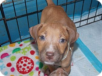 Labrador Retriever/Terrier (Unknown Type, Medium) Mix Puppy for adoption in Earlville, New York - Peanut