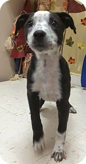 Labrador Retriever Mix Puppy for adoption in Pompton Lakes, New Jersey - Frannie