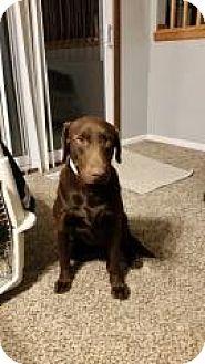 Labrador Retriever Dog for adoption in Streamwood, Illinois - Diesel