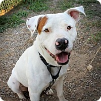 American Pit Bull Terrier Mix Dog for adoption in Von Ormy, Texas - Denver(BAC)