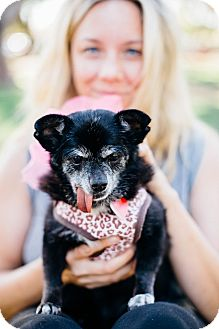 Pomeranian/Chihuahua Mix Dog for adoption in Los Angeles, California - Oprah the Magical Unicorn