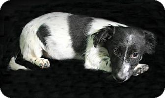 Bearded Collie Mix Puppy for adoption in Lufkin, Texas - Panda