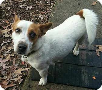 Jack Russell Terrier Mix Dog for adoption in Washington, D.C. - Milo
