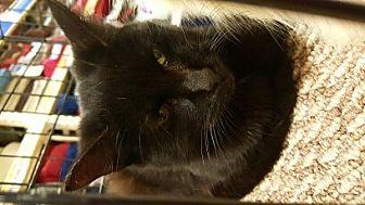 Bombay Cat for adoption in Lyons, Illinois - Ren