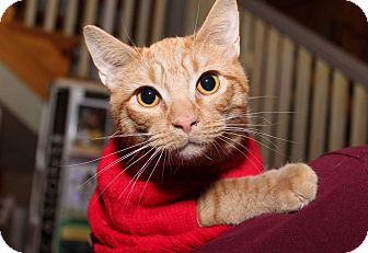 Domestic Shorthair Cat for adoption in Media, Pennsylvania - Butternut