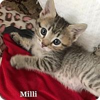 Adopt A Pet :: Milli - Bentonville, AR