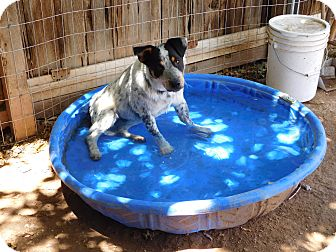 Australian Cattle Dog/Australian Shepherd Mix Dog for adoption in Phoenix, Arizona - beans