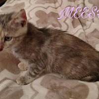 Domestic Shorthair Cat for adoption in Lawton, Oklahoma - MEESHA