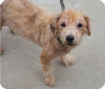 Terrier (Unknown Type, Small) Mix Dog for adoption in Mount Pleasant, South Carolina - Ms. Bennet