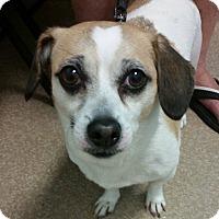 Adopt A Pet :: Sweetie - Bucks County, PA