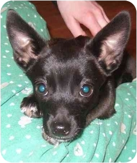 Chihuahua Mix Puppy for adoption in Tracy, California - Novalee-PENDING