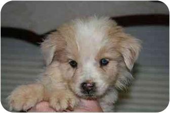 Australian Shepherd Mix Puppy for adoption in Mesa, Arizona - Carson