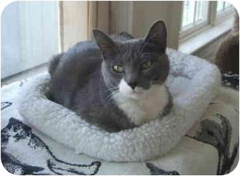 Domestic Shorthair Cat for adoption in Colmar, Pennsylvania - Libby