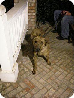 Dutch Shepherd/Boxer Mix Dog for adoption in West Los Angeles, California - Sweet Amelia