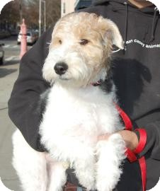 Fox Terrier (Wirehaired) Puppy for adoption in Brooklyn, New York - Sebastian