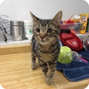 Domestic Shorthair Kitten for adoption in Athens, Georgia - Tobi
