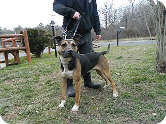 Shepherd (Unknown Type) Mix Dog for adoption in Tinton Falls, New Jersey - Smores