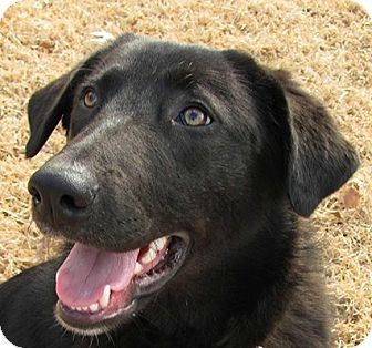 Great Pyrenees/Labrador Retriever Mix Dog for adoption in Conway, Arkansas - Baby Girl