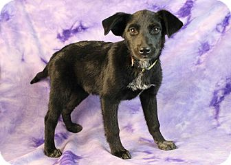 Shepherd (Unknown Type) Mix Puppy for adoption in Westminster, Colorado - Rome Beauty