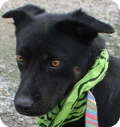 Basset Hound/Labrador Retriever Mix Dog for adoption in New Roads, Louisiana - Ty the Bassador