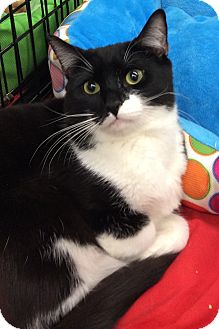 Domestic Shorthair Cat for adoption in Port Republic, Maryland - Tantor